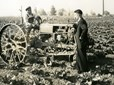 Cultivating cabbage in Gresham, Oregon