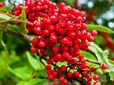 Red Elderberry (sun)