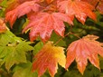 Vine Maple (sun)