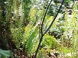 Hogan Butte sword ferns